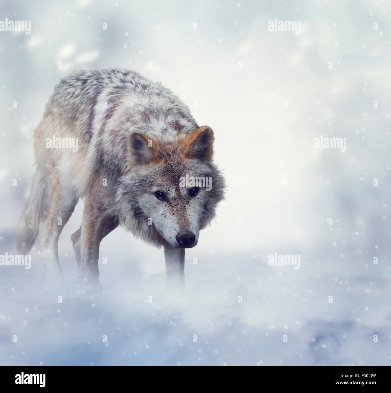 Gray Wolf Walking on the Snow - Stock Image