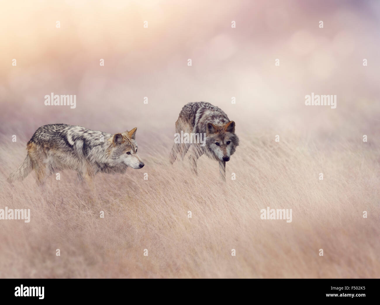 Two Wolves Stalking Through Tall Grass - Stock Image