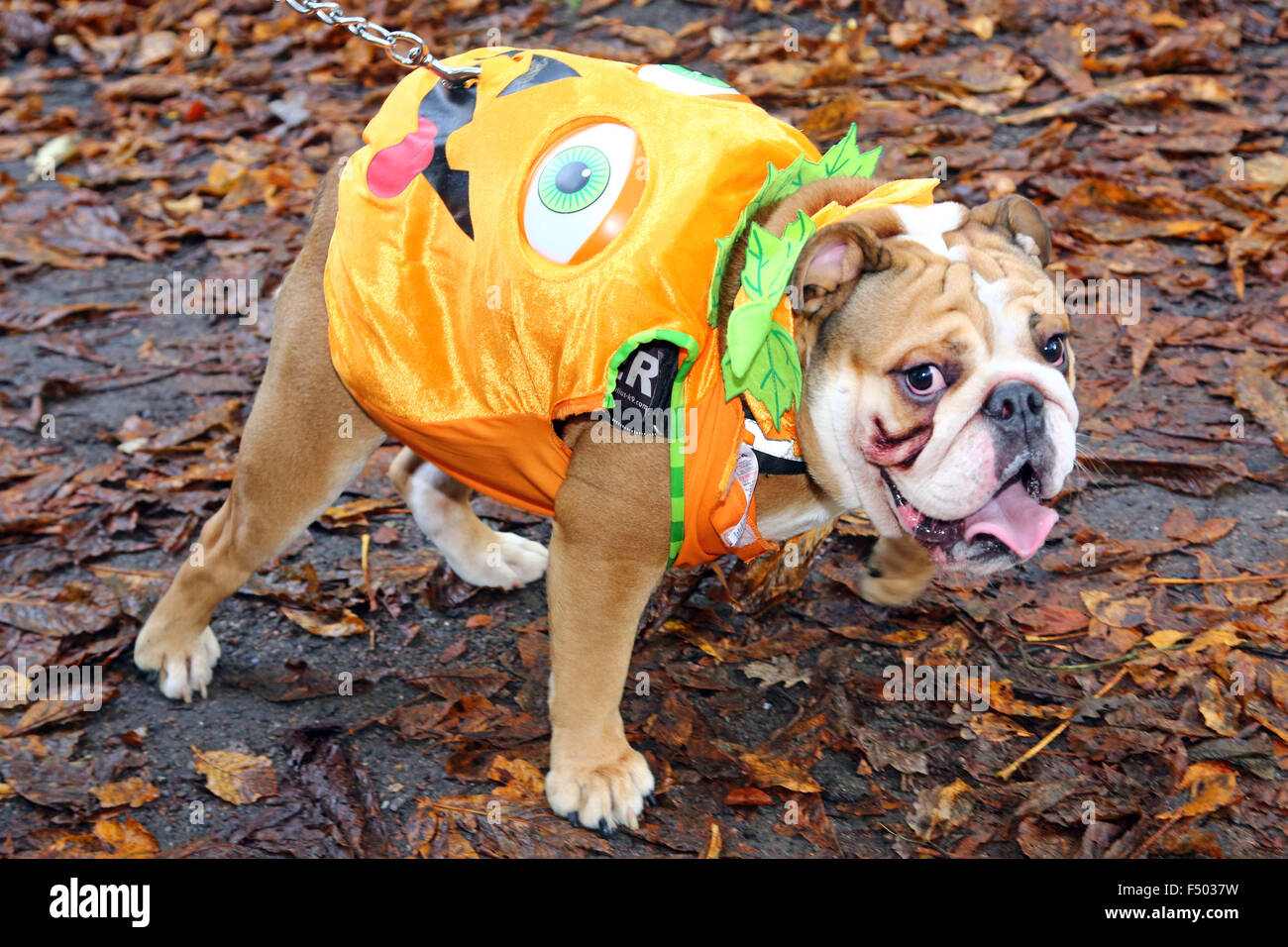 London, UK. 25th October 2015. Buster the Bulldog dressed as a pumpkin at the All Dogs Matter Halloween Dog Show, - Stock Image