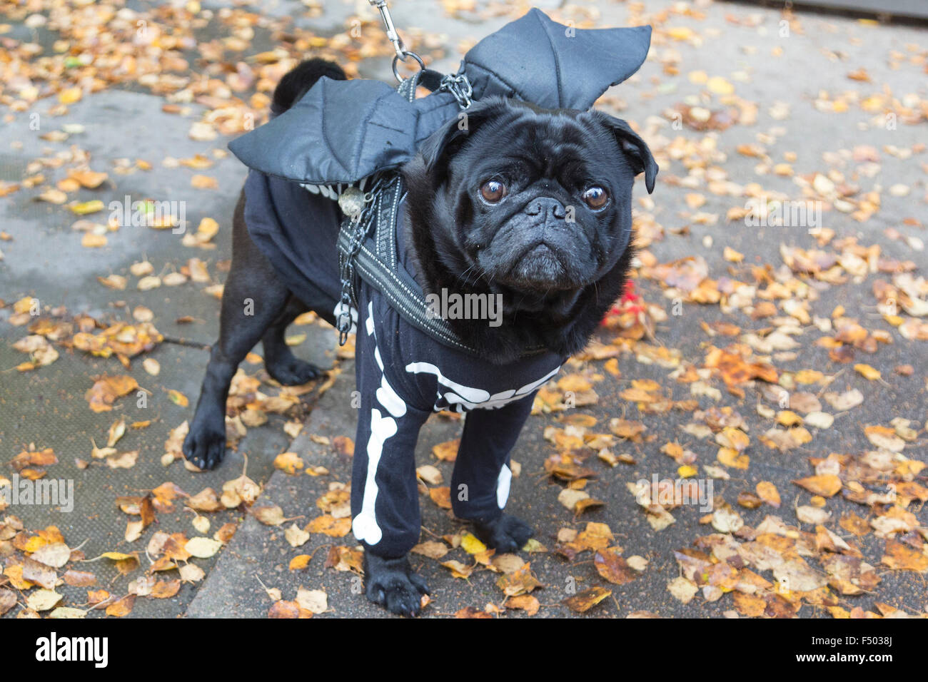 Pug Odin 7 Years With A Skeleton Costume And Bat Wings Halloween Dog Walk Organised By Animal Charity All Dogs Matter At Spaniards Inn