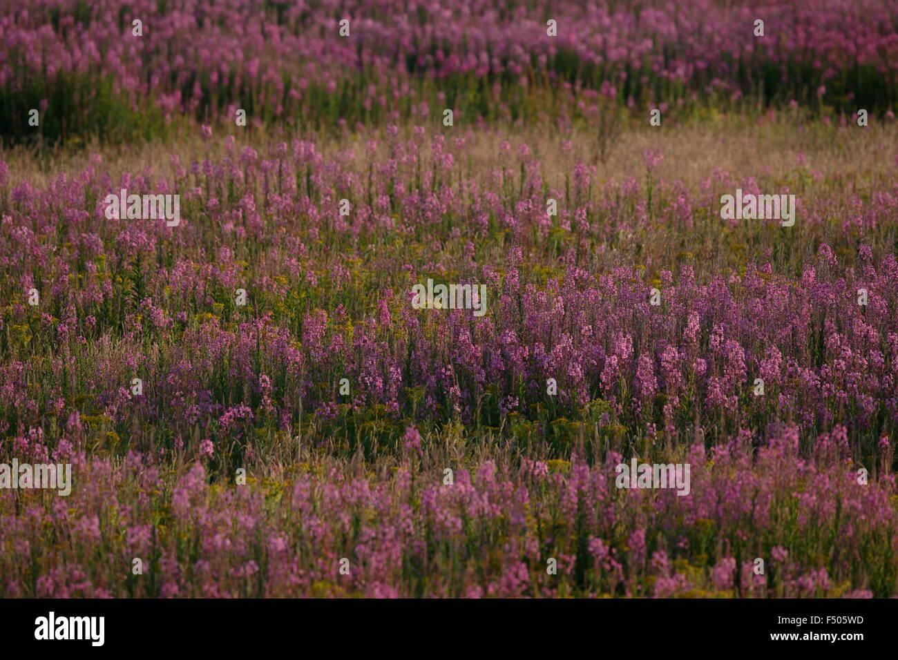 Stand of Rosebay Willowherb, Chamaenerion augustifolium Stock Photo