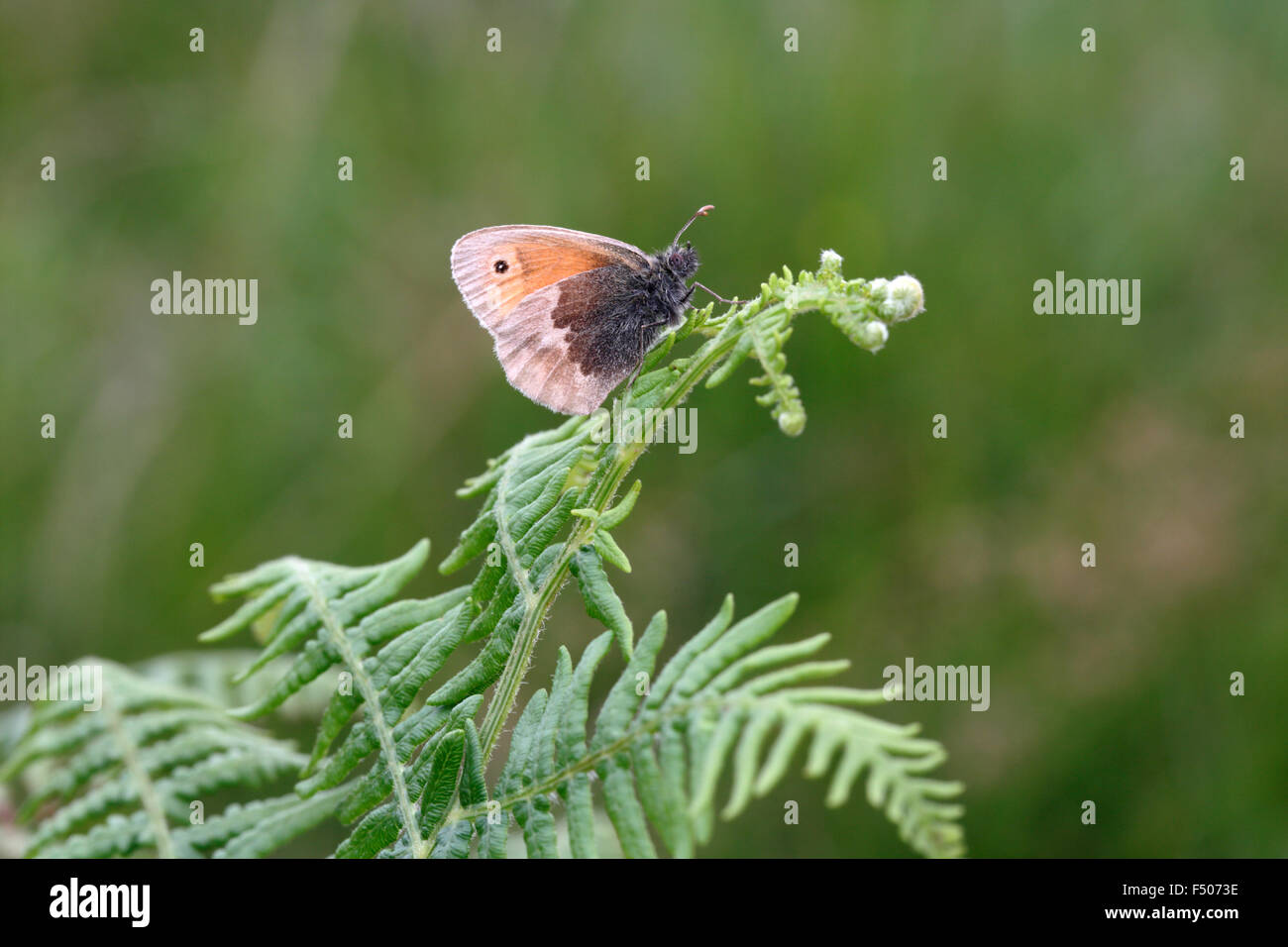 Small Heath, Coenonympha pamphilus, on bracken - Stock Image