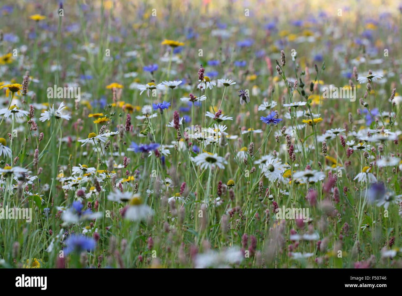 Wildflower Meadow - Stock Image