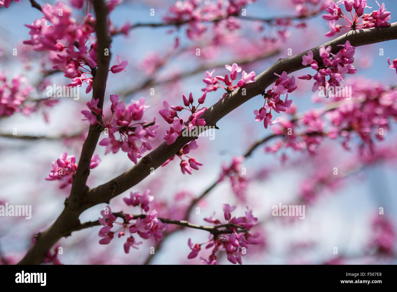 Eastern Redbud tree (Cercis canadensis) in full bloom in the spring - Stock Image
