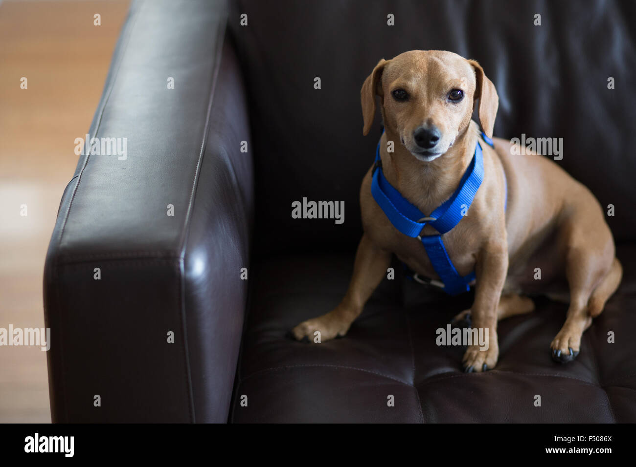 A cute dachshund dog wearing a blue harness sitting on a couch - Stock Image