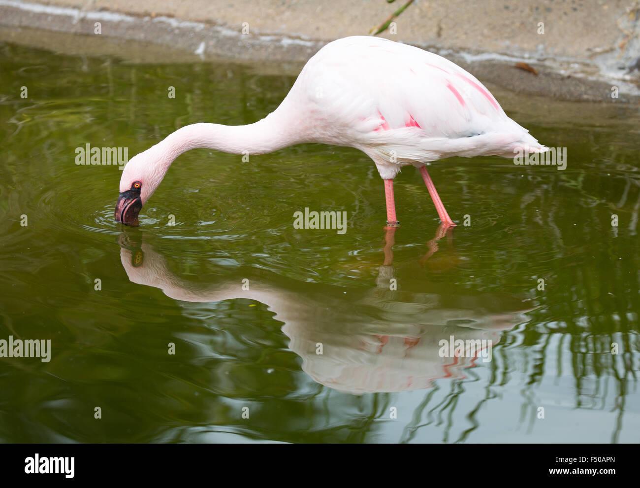 Lesser Flamingo (Phoeniconaias minor) adult filter feeding. - Stock Image
