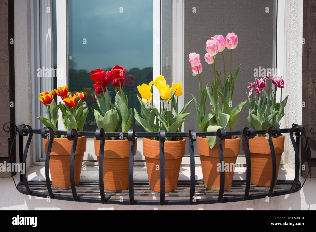 Pots of tulips sitting in a window box planter - Stock Image