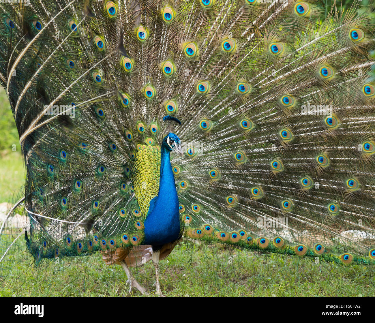 Peacocking: a male peafowl displays his plumage - Stock Image
