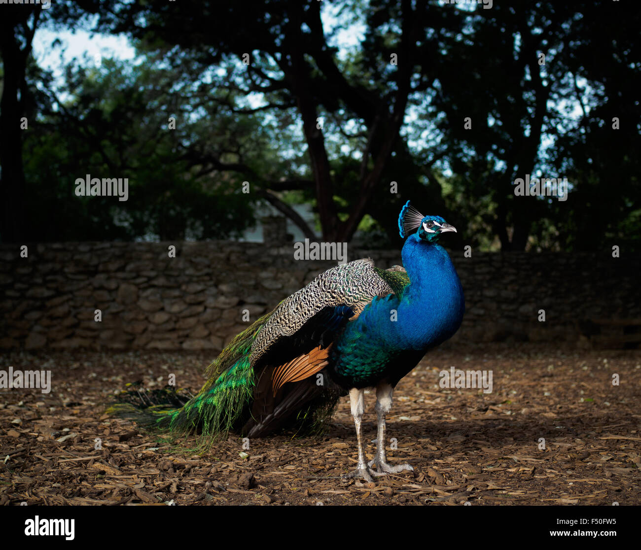 Peacock standing in the sun at Mayfield Park in Austin, Texas - Stock Image