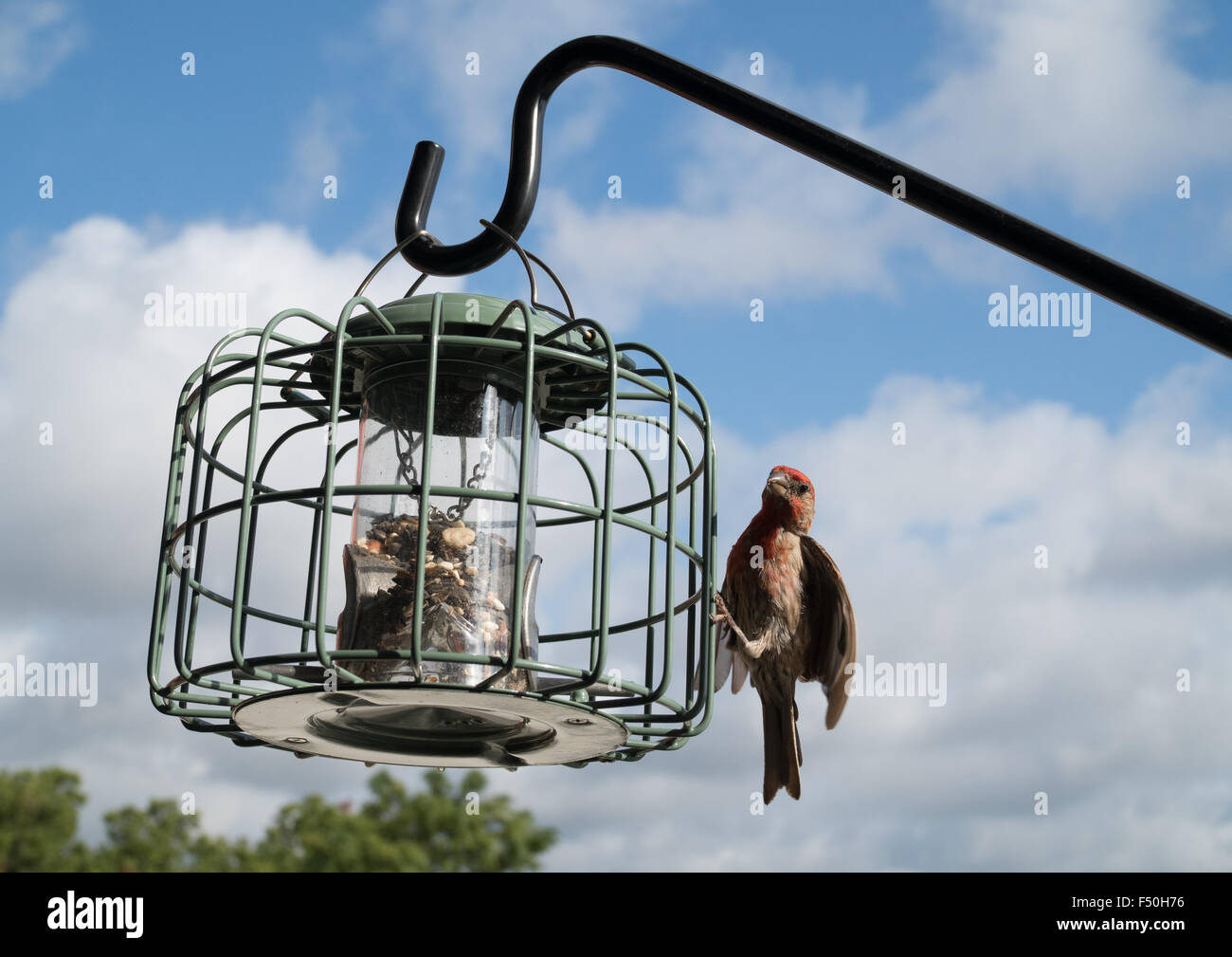 Finches eating from a bird feeder Stock Photo