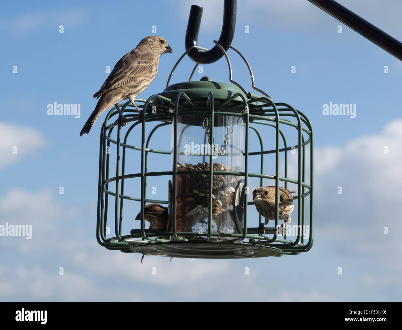 Finches eating from a bird feeder - Stock Image