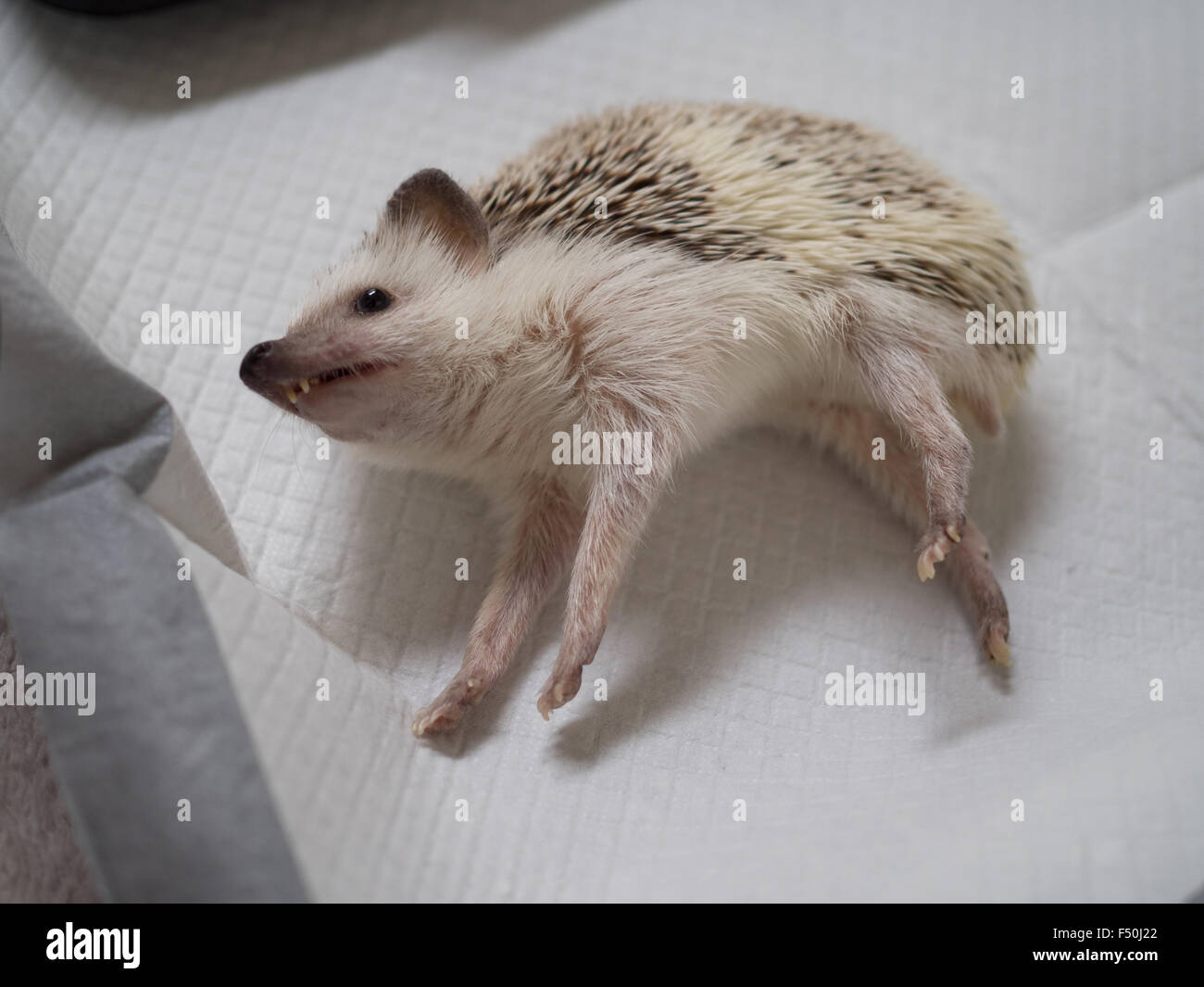 A sick hedgehog lays on a quilted sheet - Stock Image