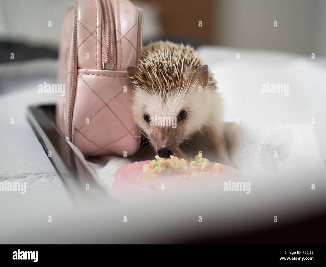 A hedgehog eats mixed veggies - Stock Image
