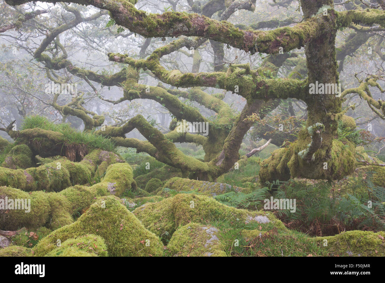 Gnarled ancient oak trees in Wistman's Wood in Dartmoor National Park on a foggy morning, - Stock Image