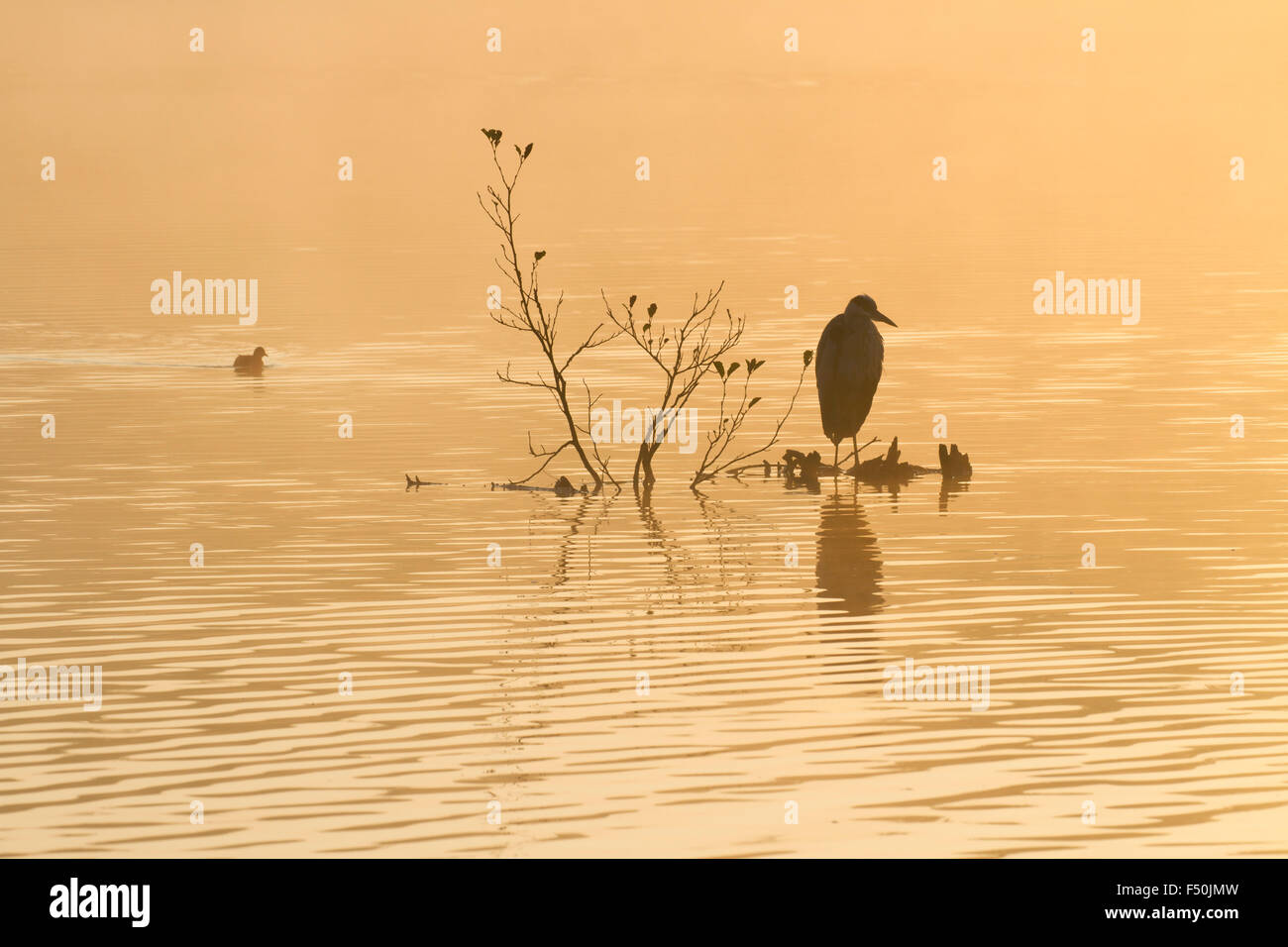 Grey heron (Ardea cinerea) on a perch in the middle of a lake with a coot (Fulica atra) swimming past - Stock Image