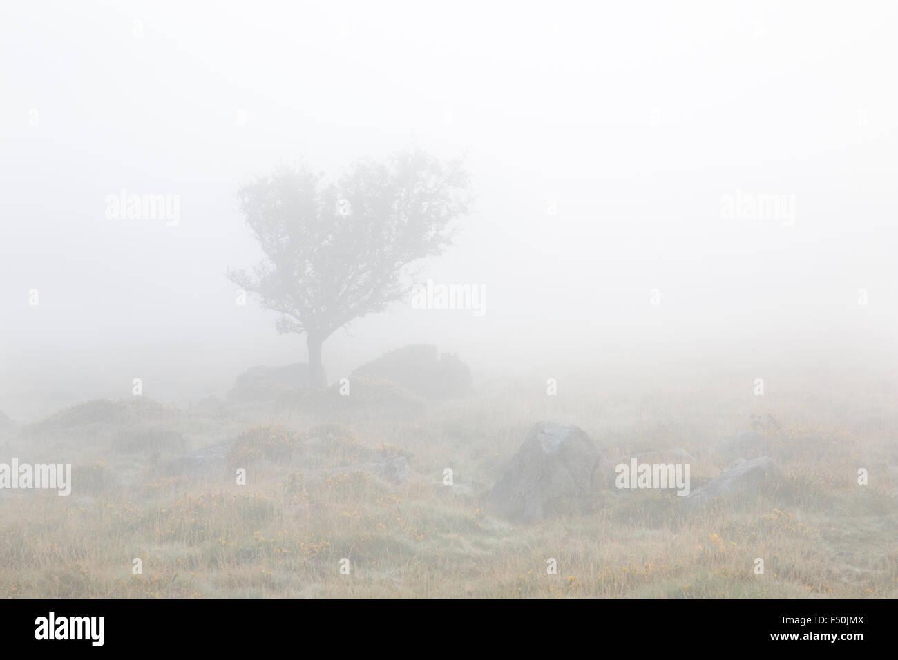 Hawthorn tree on Dartmoor in the fog - Stock Image