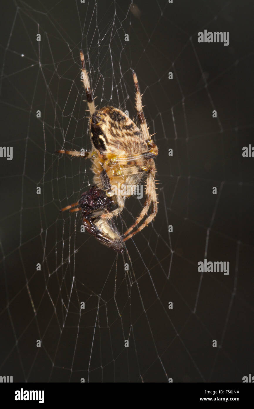 Orb web spider (Araneus diadematus) wrapping up its prey in web. - Stock Image