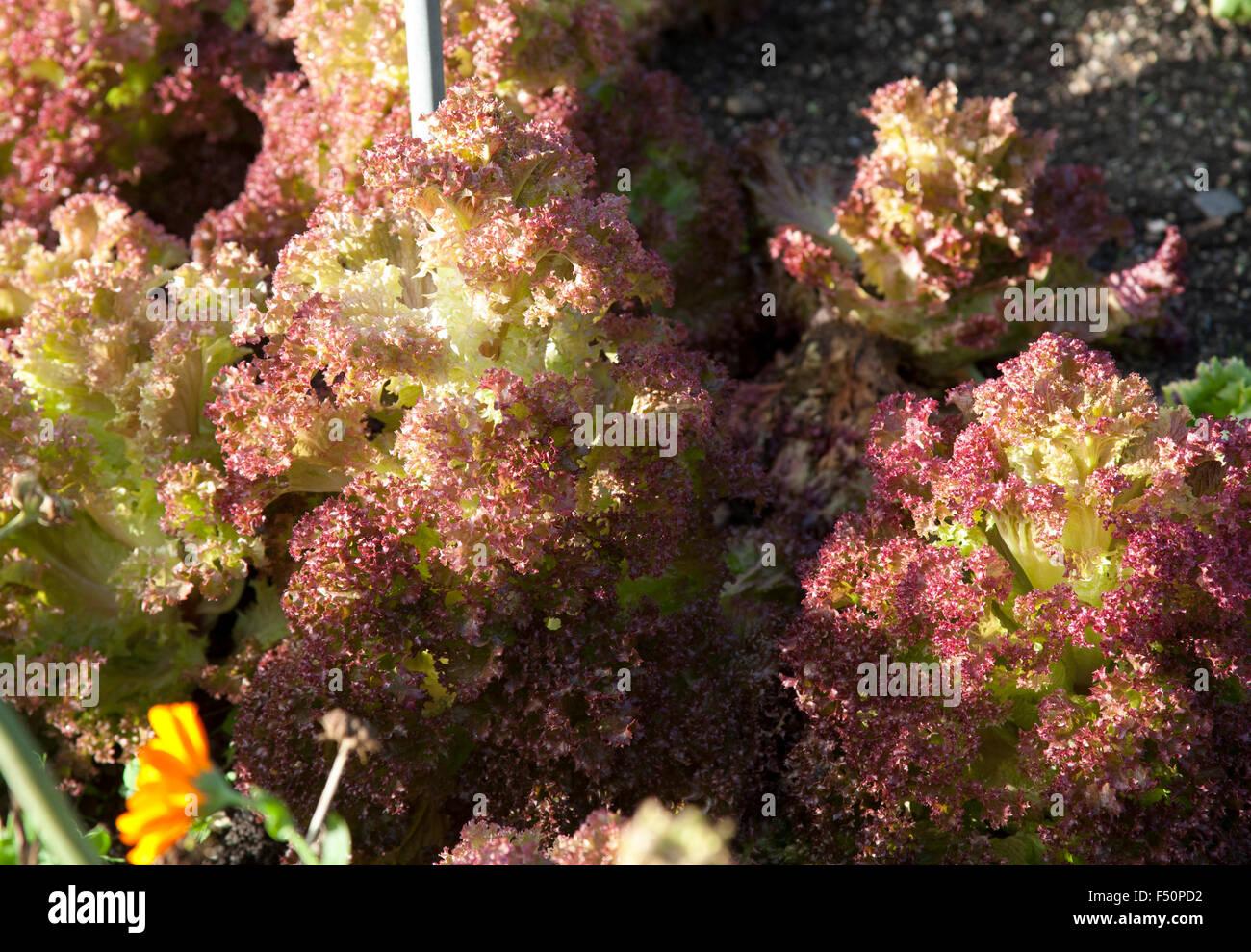 Lollo Rosso Lettuce Growing In Stock Photos & Lollo Rosso Lettuce ...