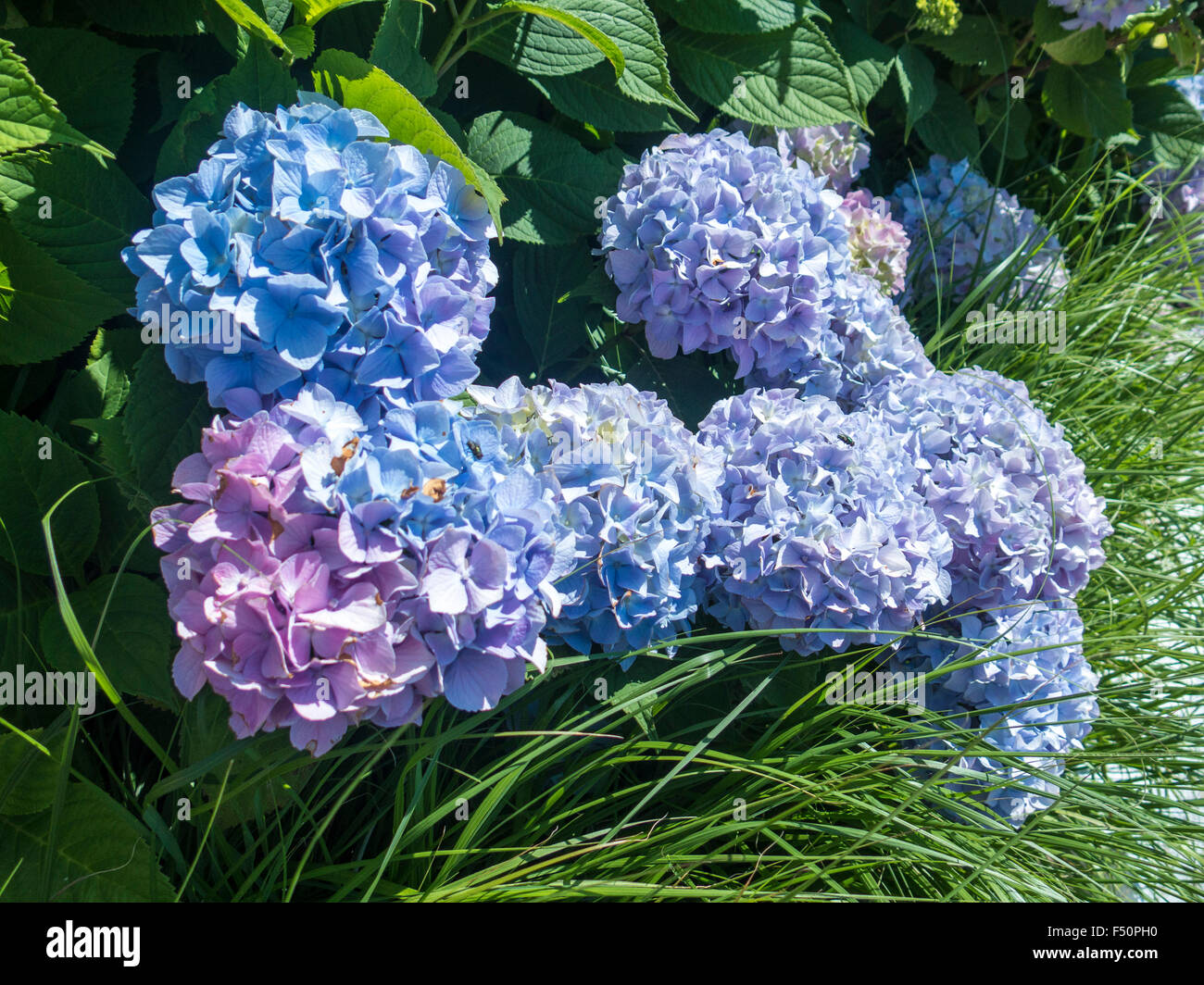 Blue and pink hydrangeas - Stock Image