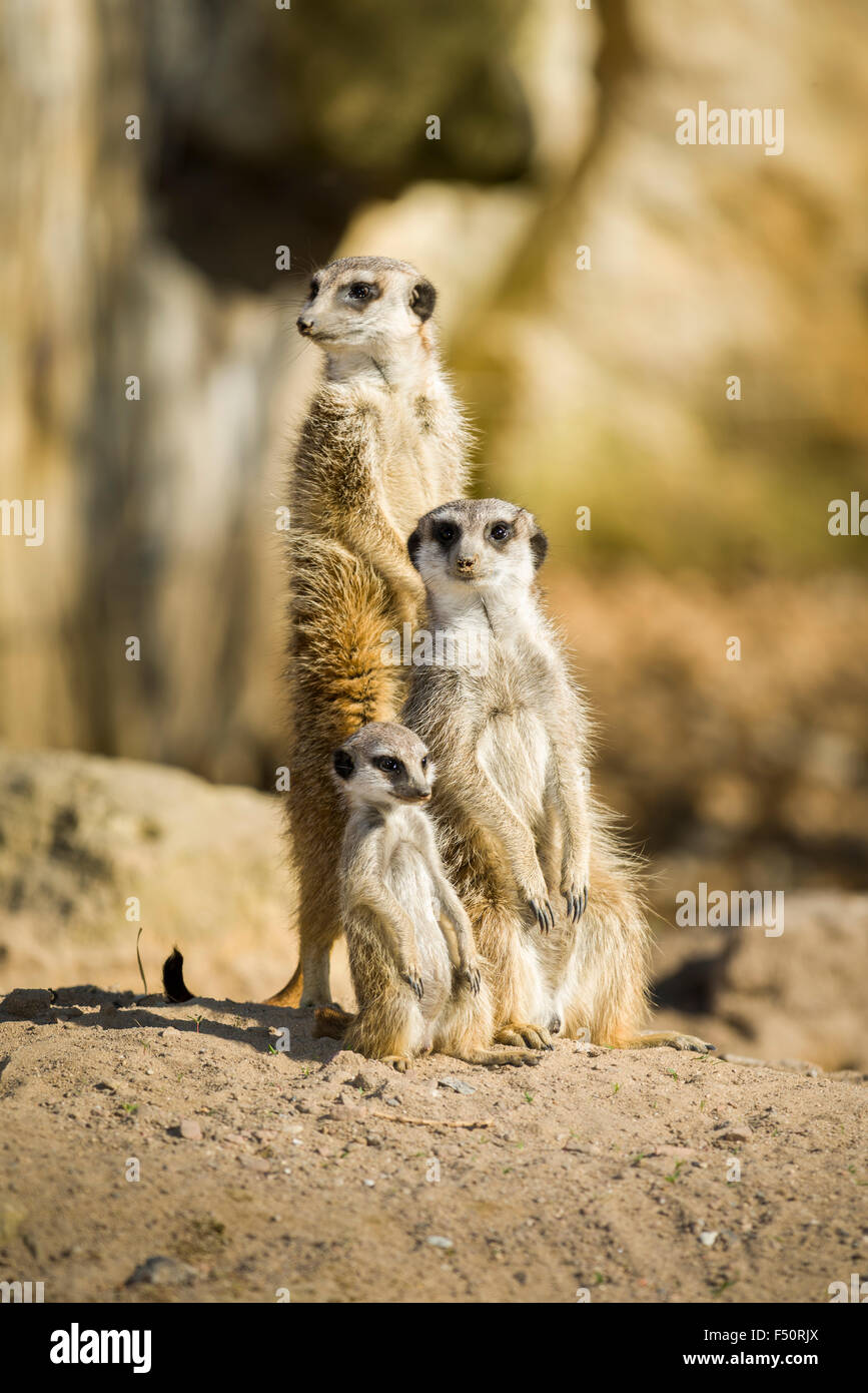 A Meerkat (Suricata suricatta) family, the male is standing, the female and the baby are sitting on the ground - Stock Image