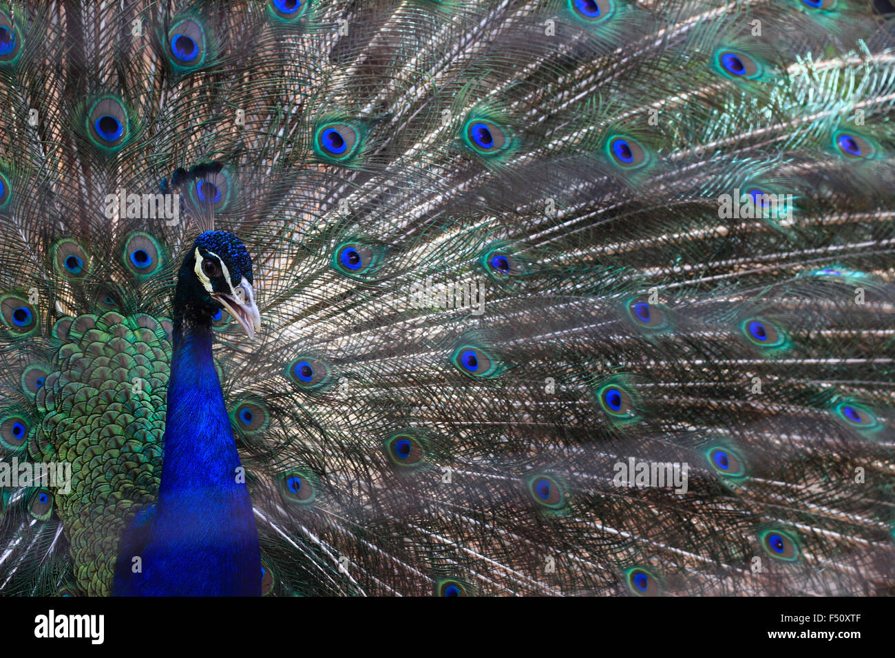 Jakarta, Indonesia. 25th Oct, 2015. A blue peafowl (Pavo cristatus) spreads his feathers to attract female peacocks - Stock Image