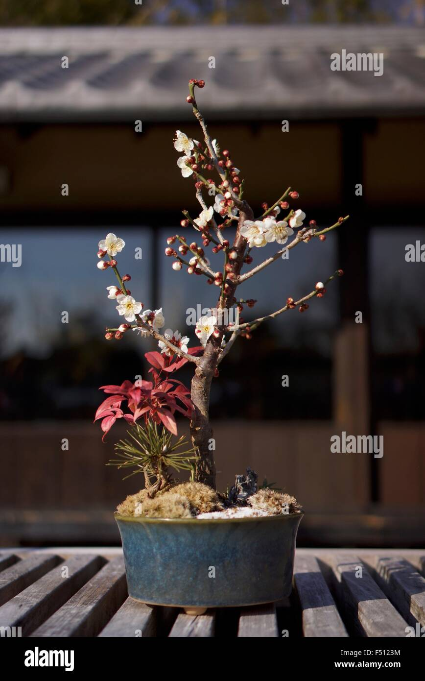 Bonsai Cherry High Resolution Stock Photography And Images Alamy