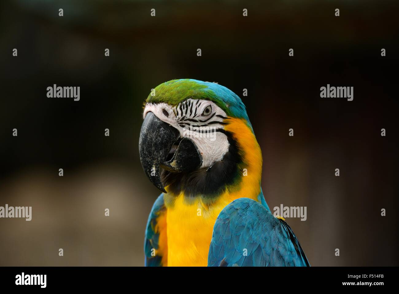 beautiful Blue-and-yellow Macaw (Ara ararauna), also known as the Blue-and-gold Macaw - Stock Image