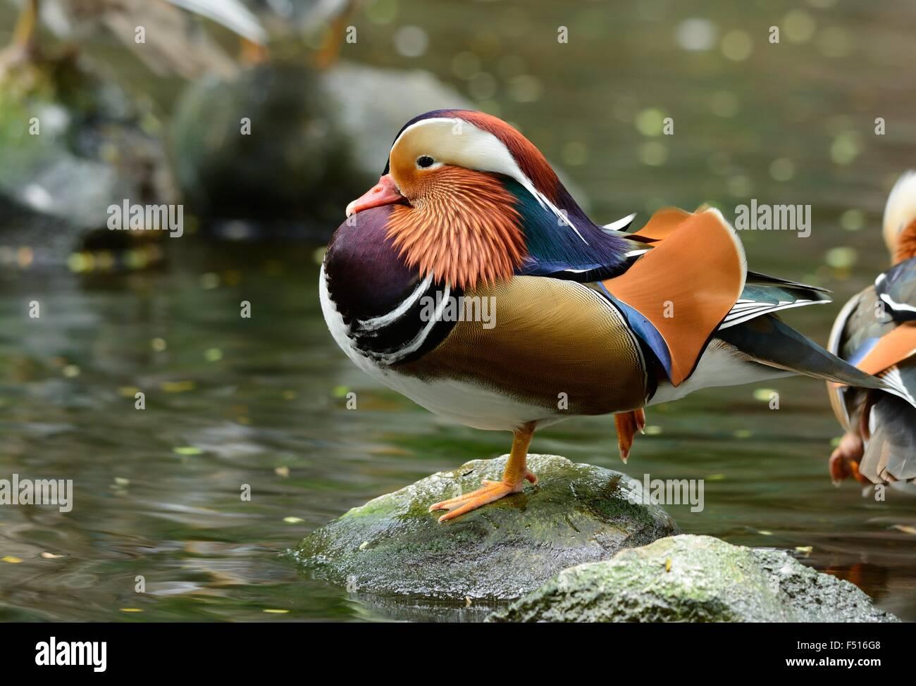 beautiful male Mandarin duck (Aix galericulata) resting near the water Stock Photo