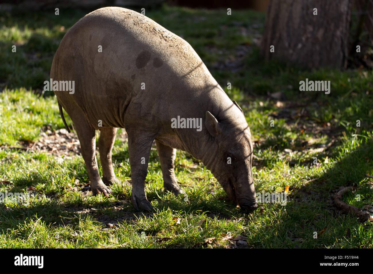 Endemic North Sulawesi mammal babirusa (Babiroussa celebensis) without tusk - Stock Image