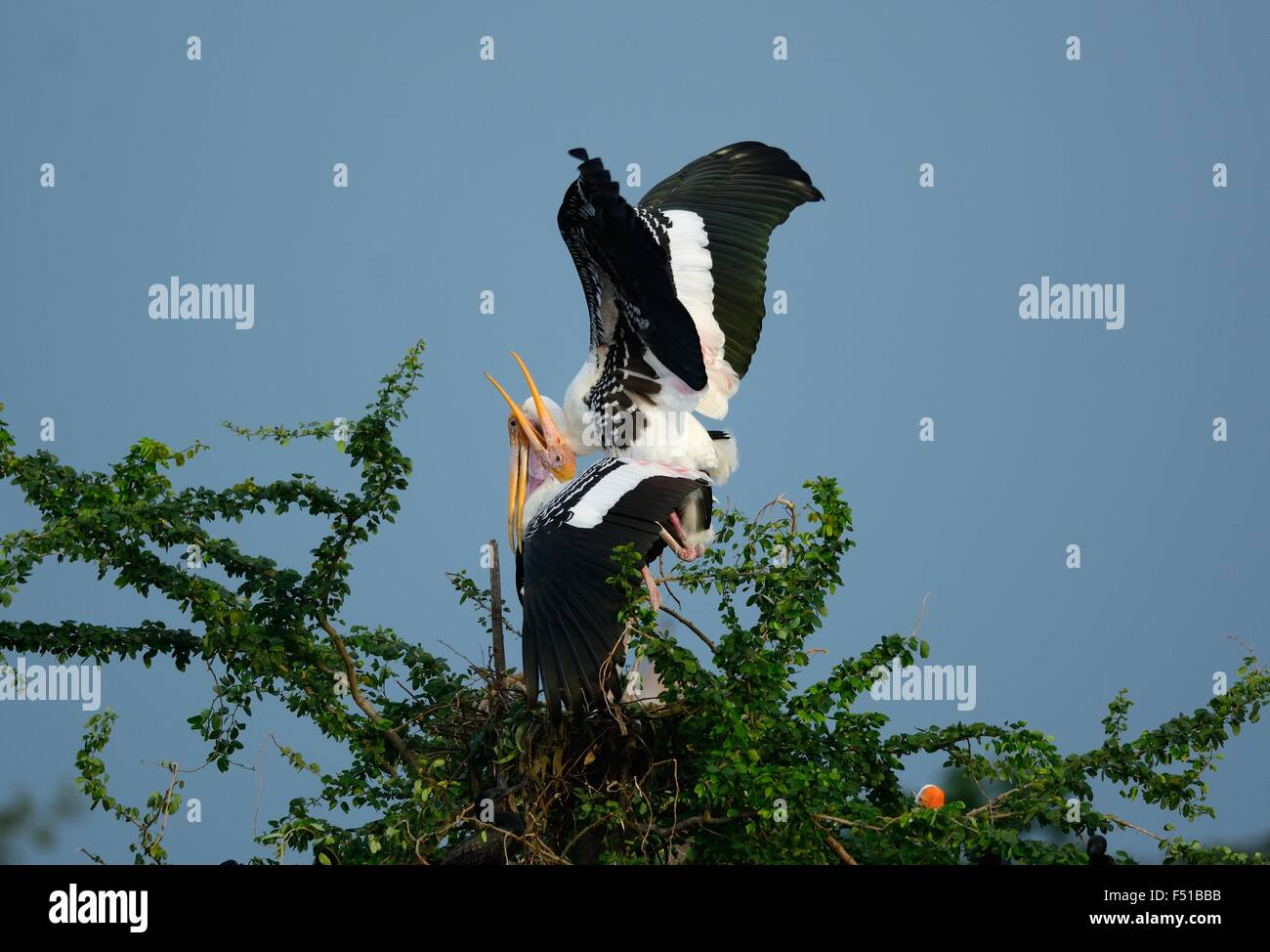 breeding colony of Painted Stork (Mycteria leucocephala) in Thai forest - Stock Image