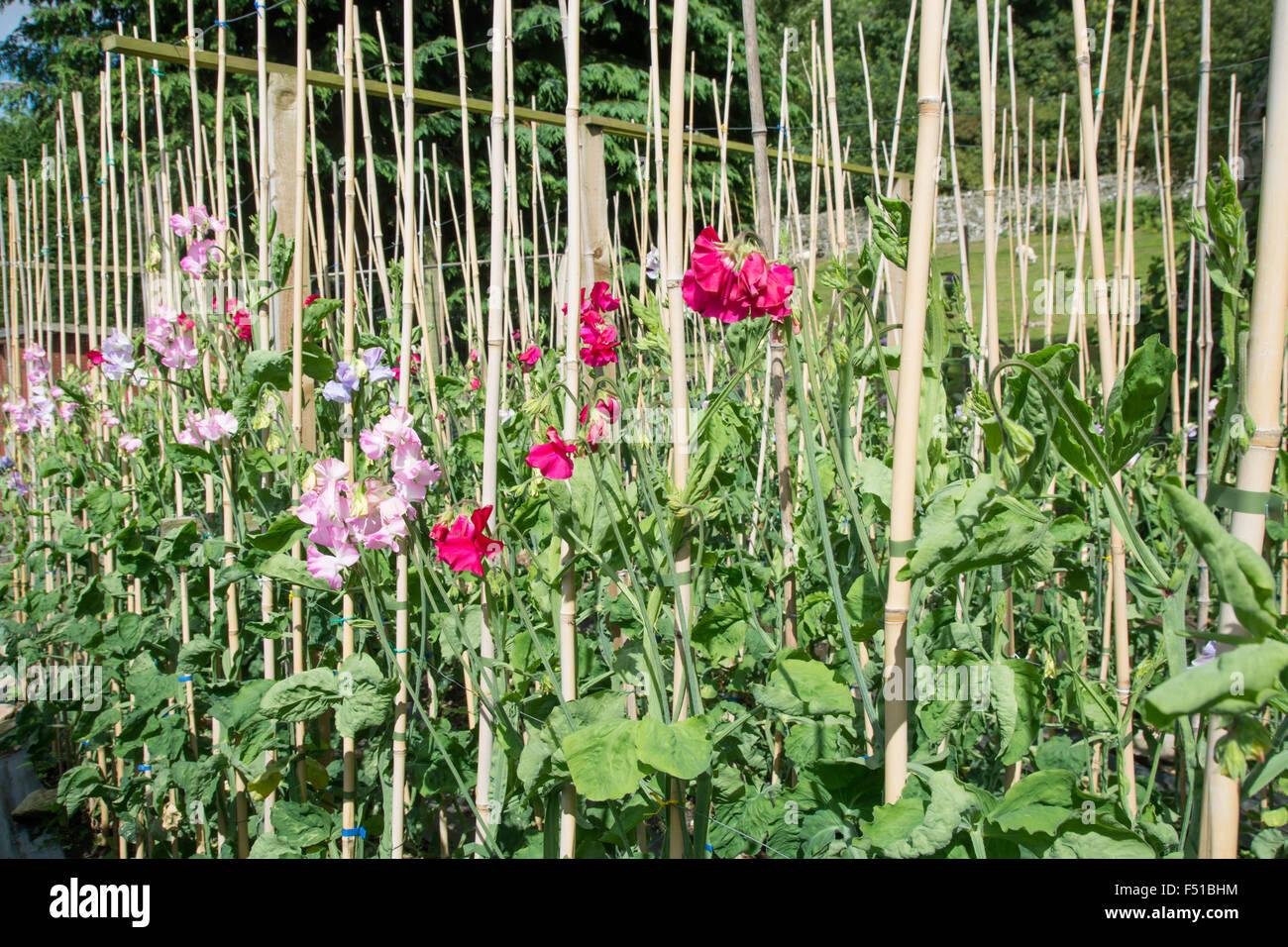 Cordon Sweet Peas Growing Up Canes Stock Photo 89156192 Alamy