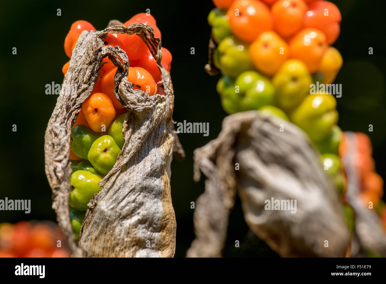 Arum (Arum maculatum) ripe Fruit Stand red green yellow ball standing Stand berries poison garden Gardening medicinal - Stock Image