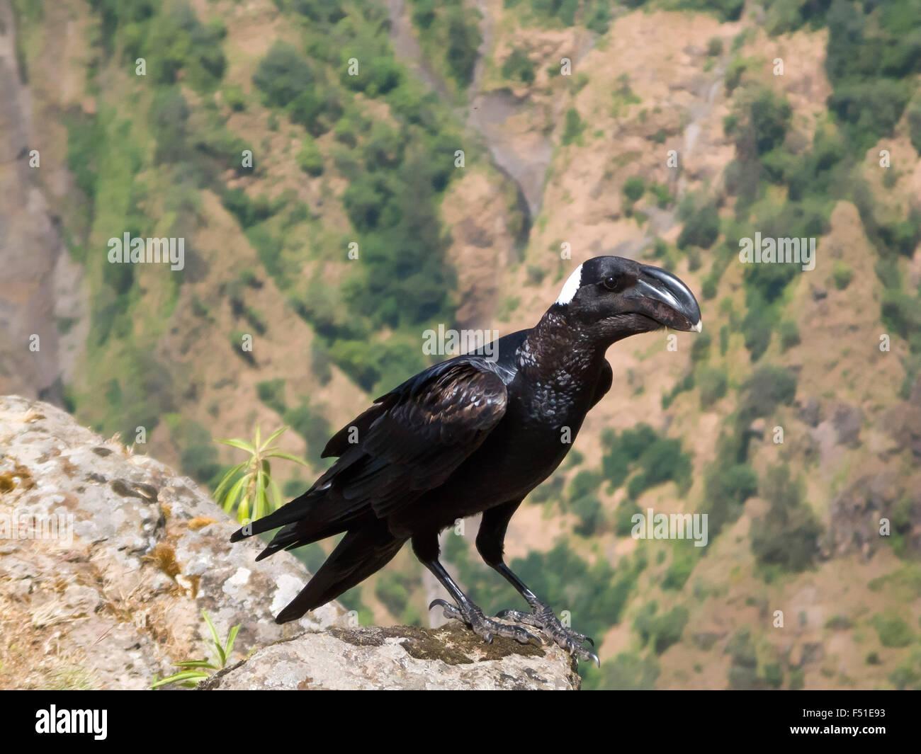 Thick-Billed Raven (Corvus crassirostris). Simien Mountains, Ethiopia - Stock Image