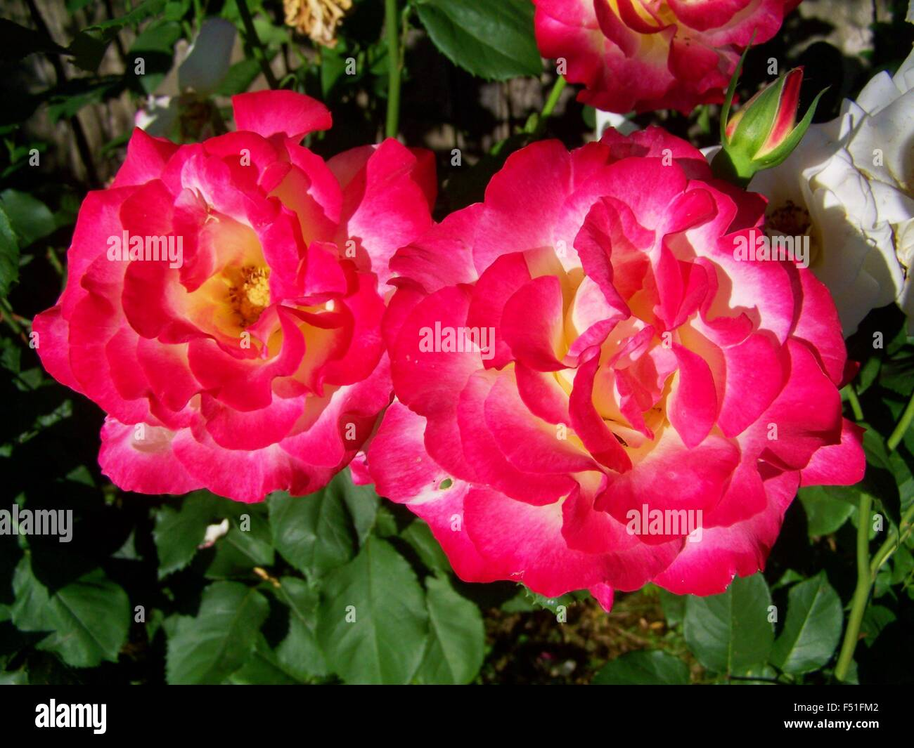 Close up of a pair of pink roses - Stock Image