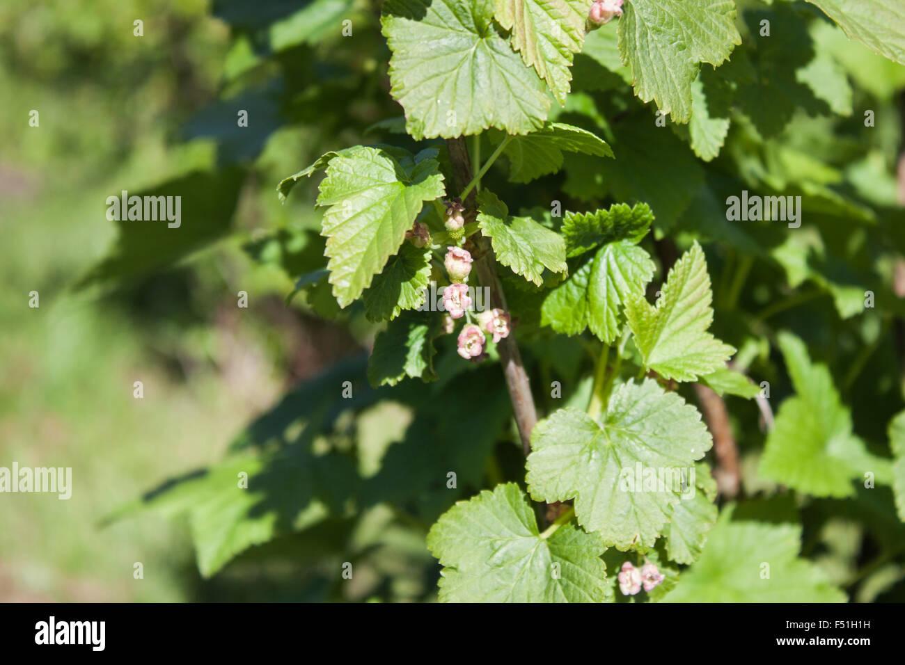Black currant, ribes nigrum flowers, in the garden Stock Photo