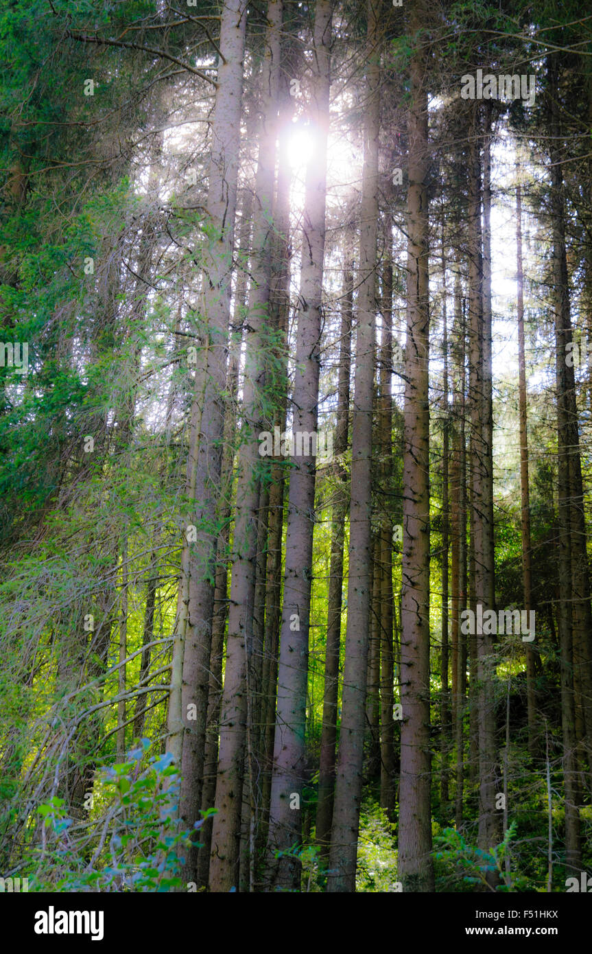 The sun shines through the trees of a forest. Photographed in Tirol, Austria - Stock Image