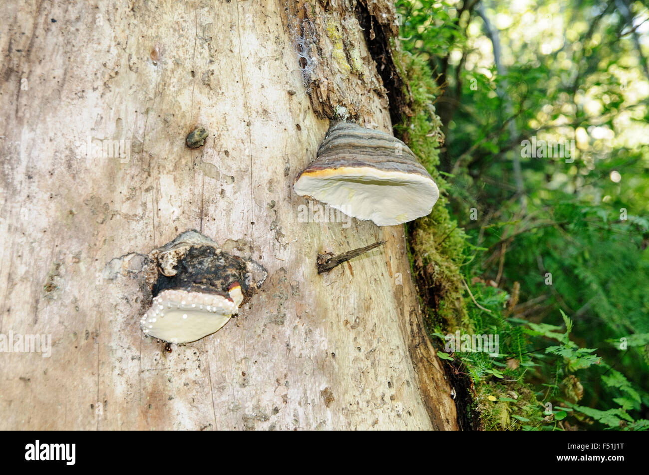 Hoof fungus (fomes fomentarius)or bracket fungus, grows on a living tree trunk. Photographed in Tirol, Austria in - Stock Image