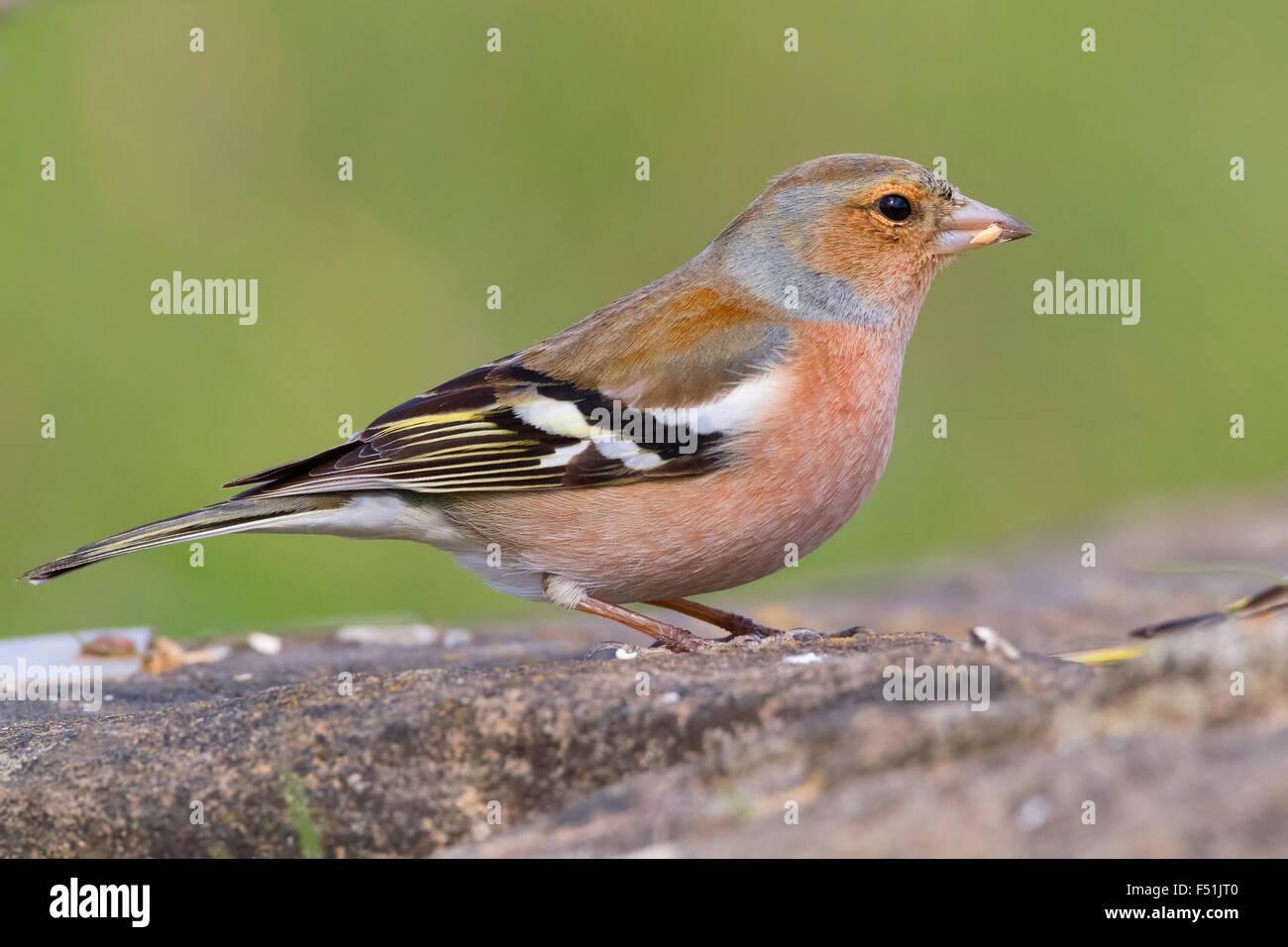 Common Chaffinch, Adult male feeding on seeds, Campania, Italy (Fringilla coelebs) - Stock Image