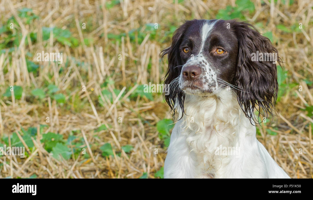 A young English Springer Spaniel dog sat in a field - portrait - Stock Image