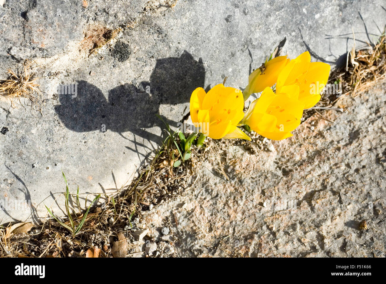 Yellow flowers of the Sternbergia lutea (Autumn daffodil, Fall daffodil, Lily-of-the-field, Winter daffodil, Yellow - Stock Image