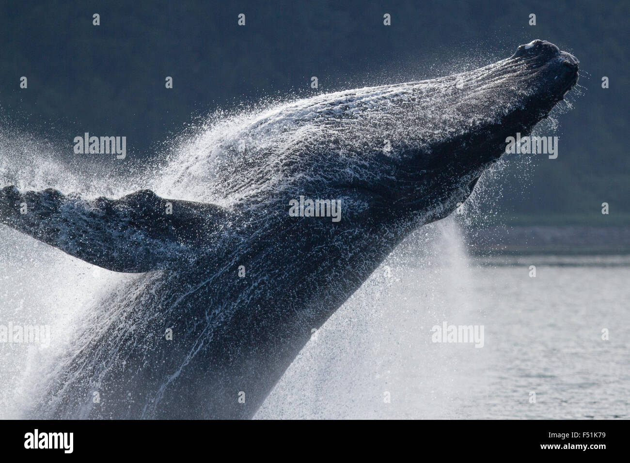 Humpback Whale breaching in Alaskan waters Stock Photo