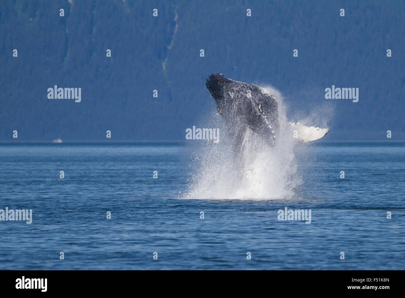 Humpback Whale breaching in Alaskan waters Stock Photo