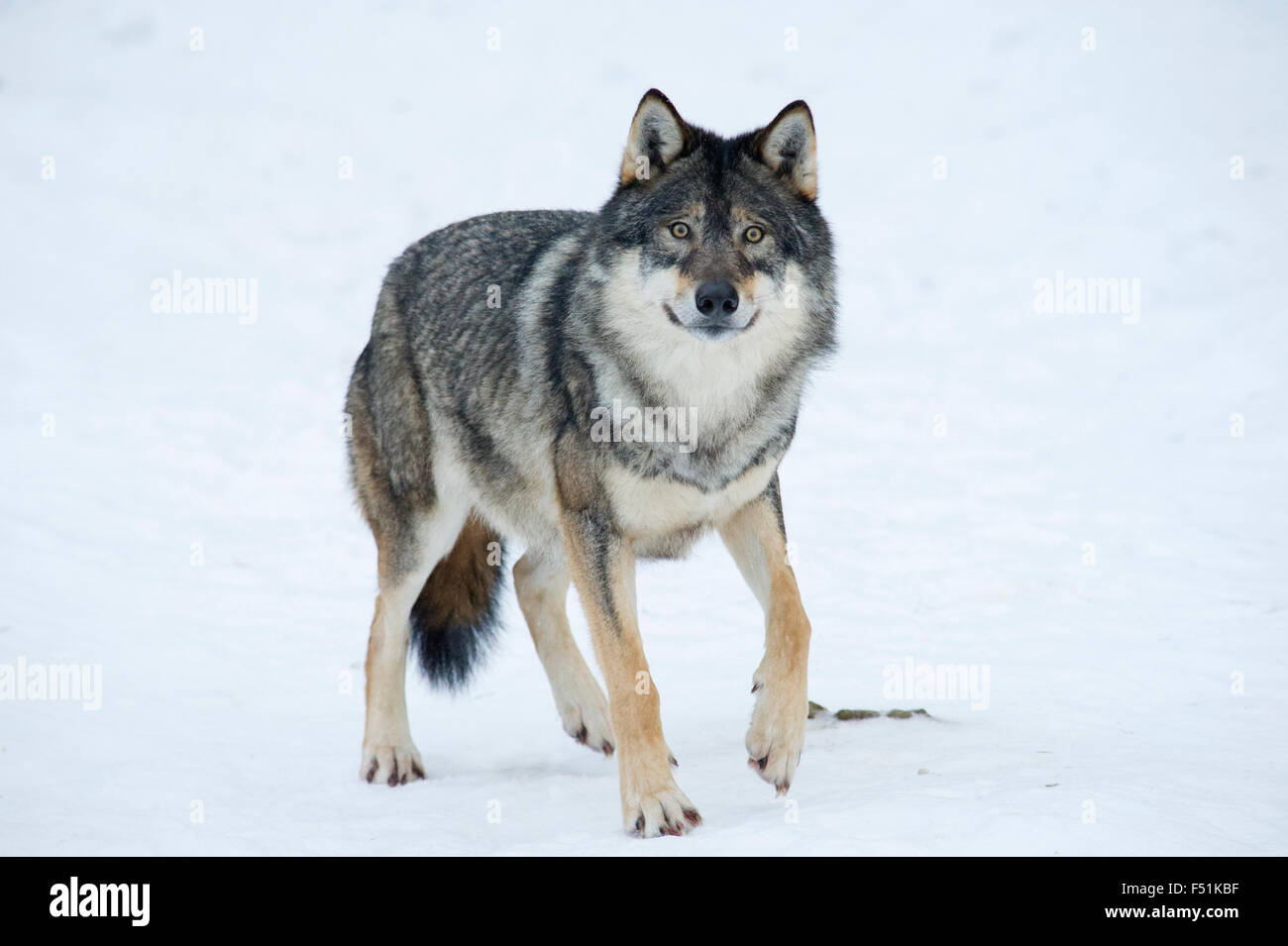 A Eurasian Wolf (Canis lupus lupus) in the winter snow of Northern Norway Stock Photo