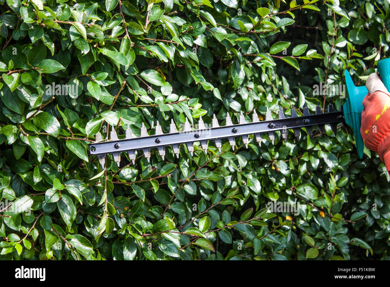 Gardener trimming bushes, with a trimmer machine - Stock Image