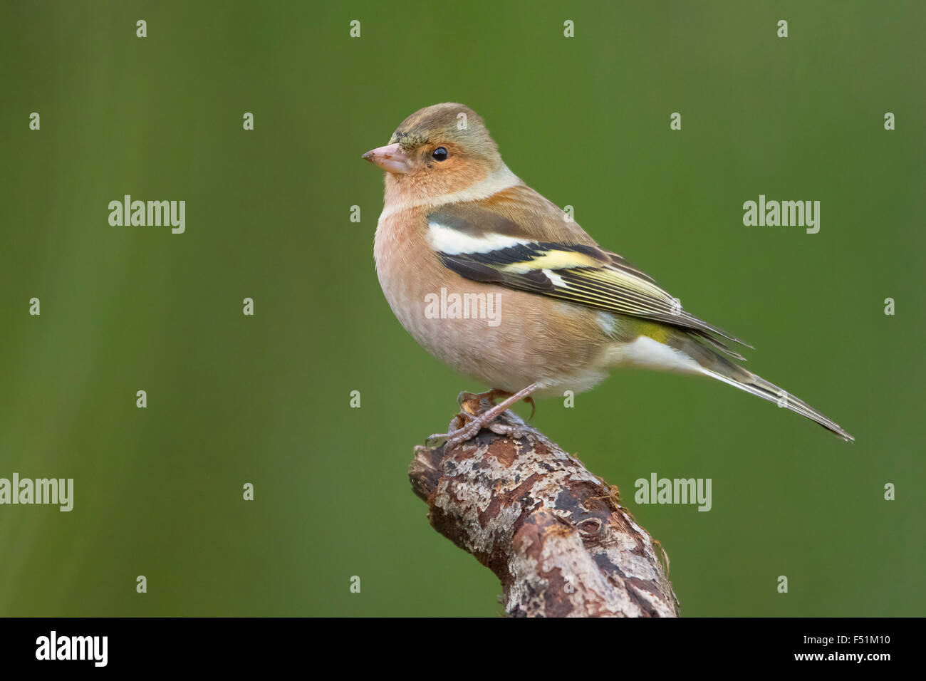 Common Chaffinch, Adult male standing on a branch, Campania, Italy (Fringilla coelebs) - Stock Image