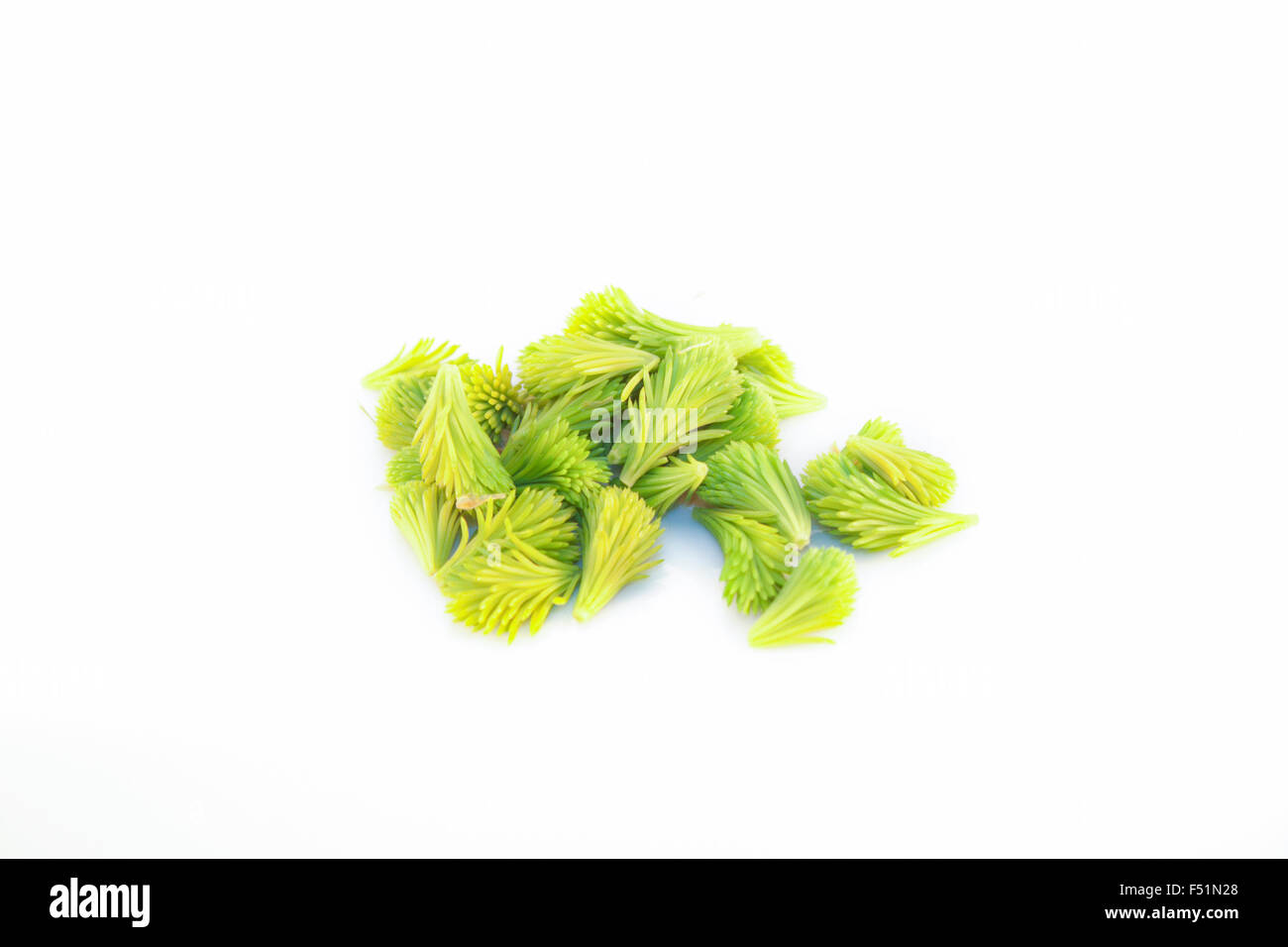 Light green, young spruce sprouts, isolated on white background - Stock Image