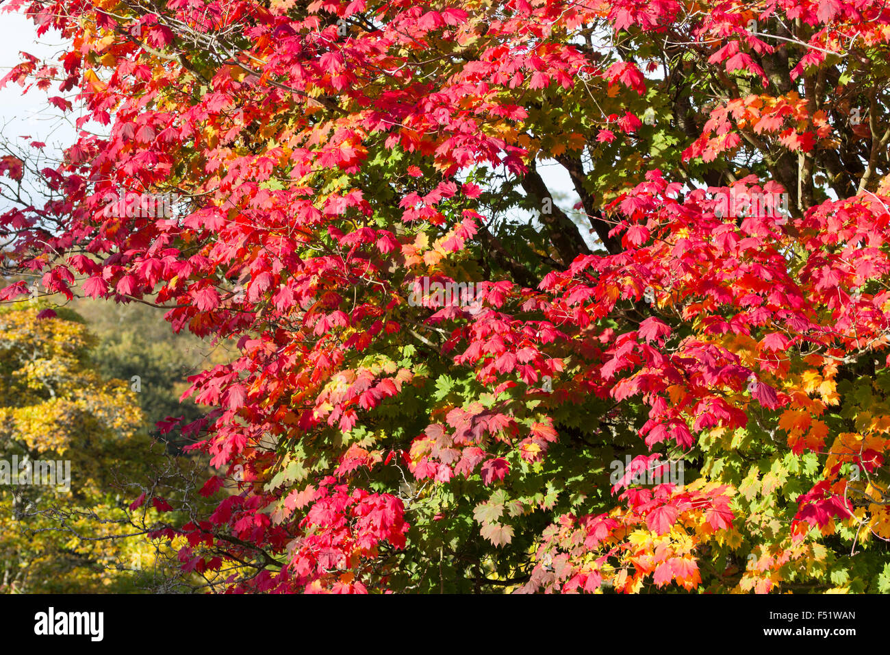 Red and gold autumn foliage of the hardy Japanese maple, Acer japonicum - Stock Image