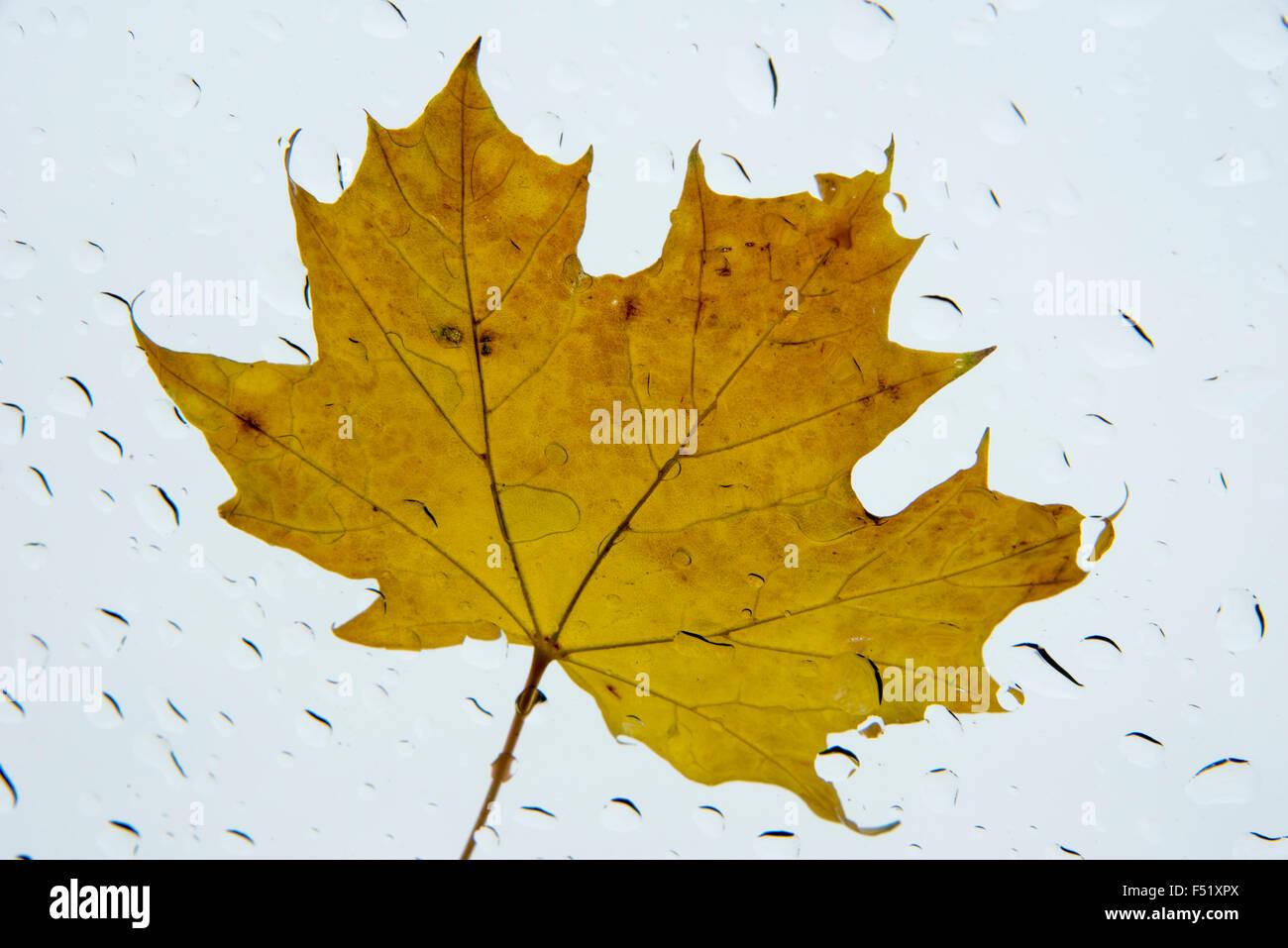 Maple leaf in the rain - Stock Image