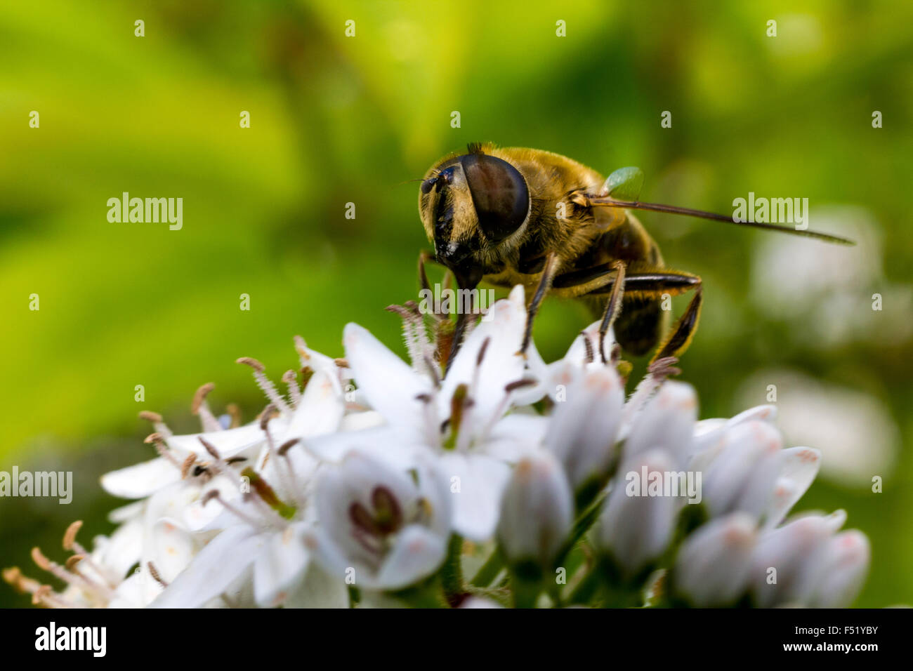 Close Up Detail of a Bee Hover-Fly (Volucella bombylans) Feeding on nectar from a White Umbellifer Flower. - Stock Image