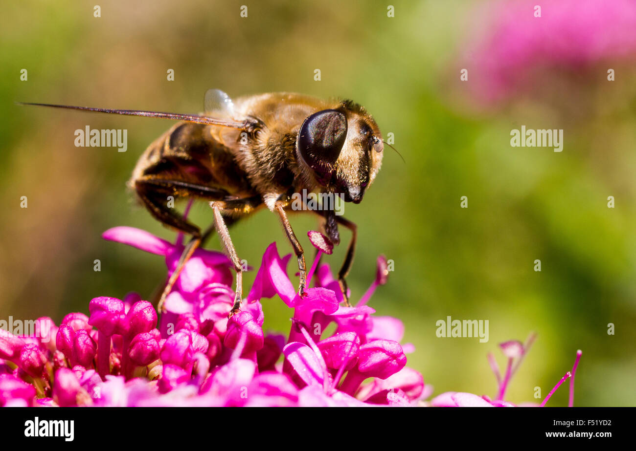Close Up Detail of a Bee Hover-Fly (Volucella bombylans) Actively Feeding on nectar from a Red Valerian Flower. - Stock Image